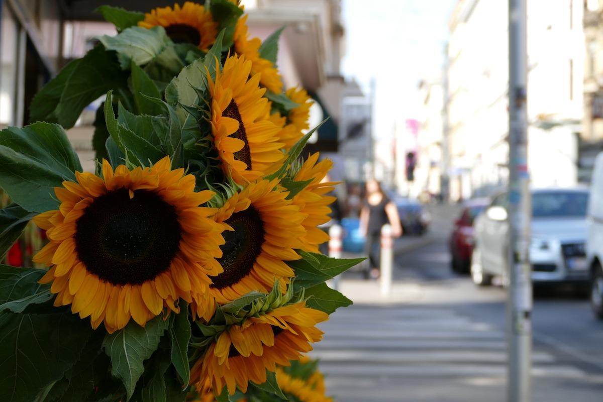 wien-sonnenblume