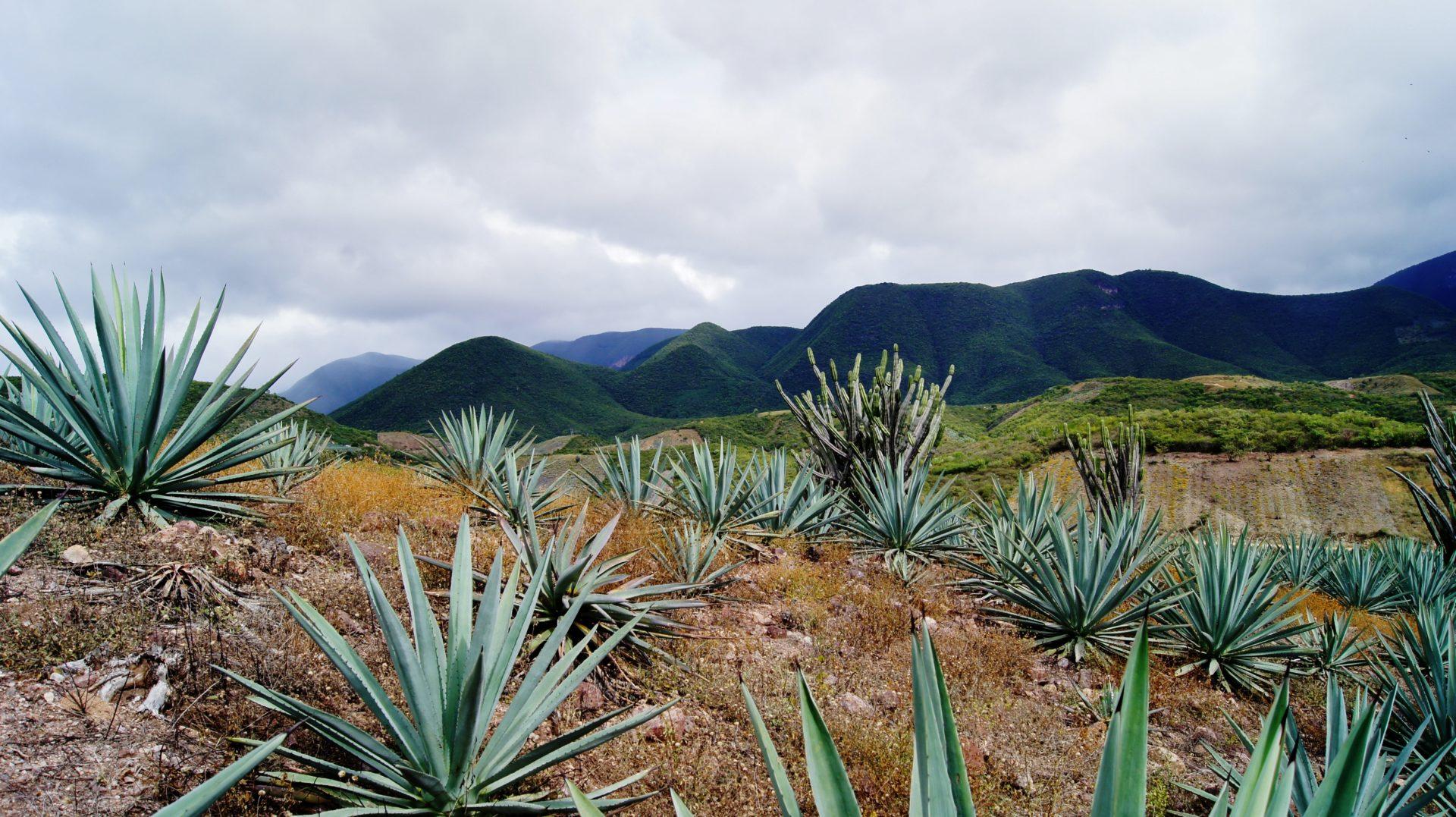 Clan55 Mezcal Farm - Oaxaca Mexico